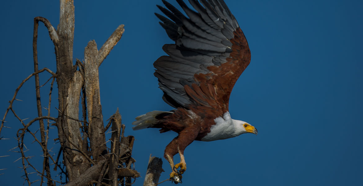 Eagle-African-Fish-30