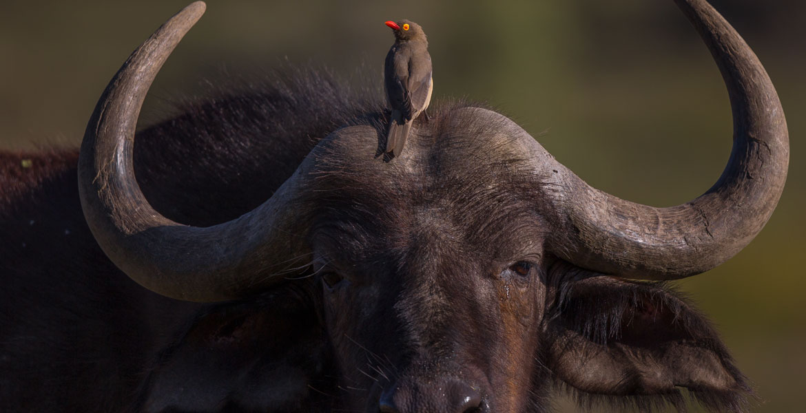 Oxpecker-Red-Billed-13