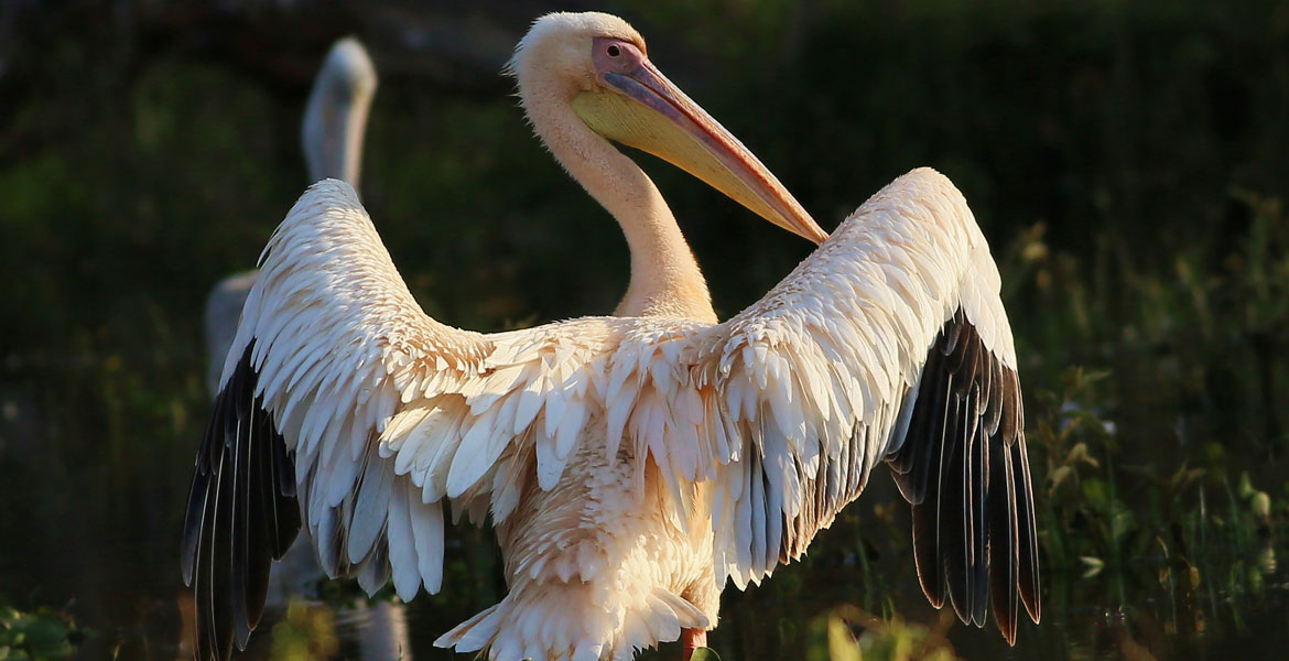 Pelican-Great-White-8