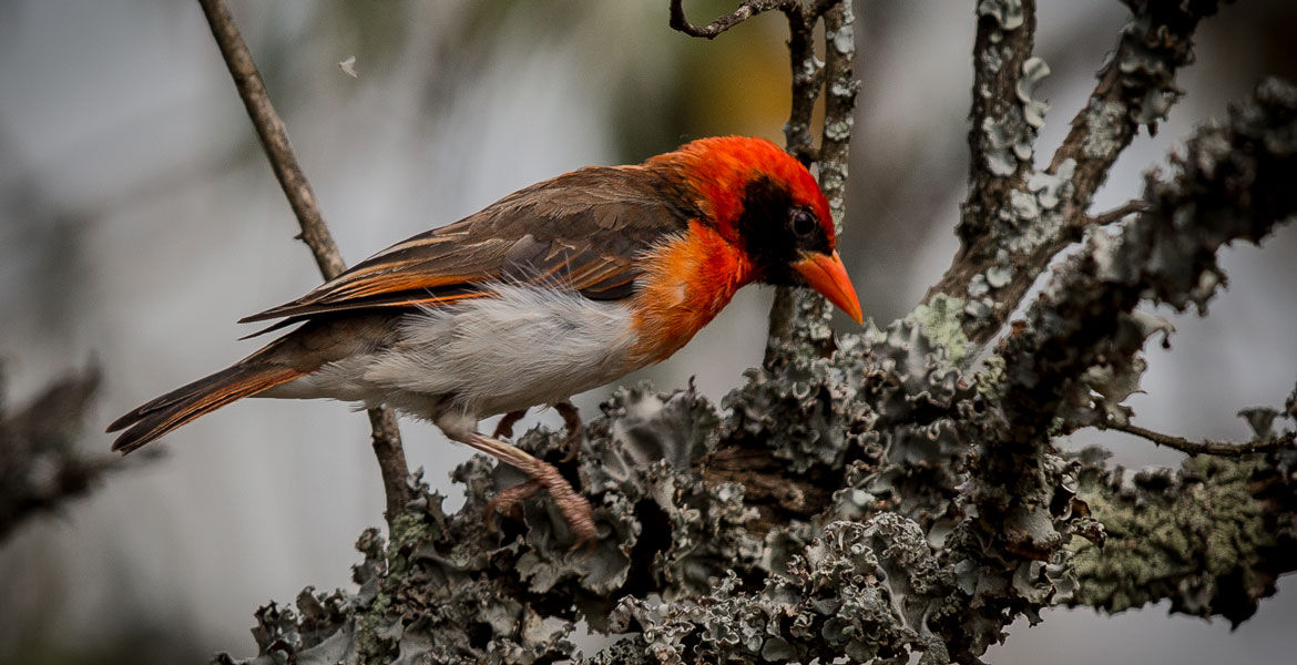 Weaver-Red-Headed-5